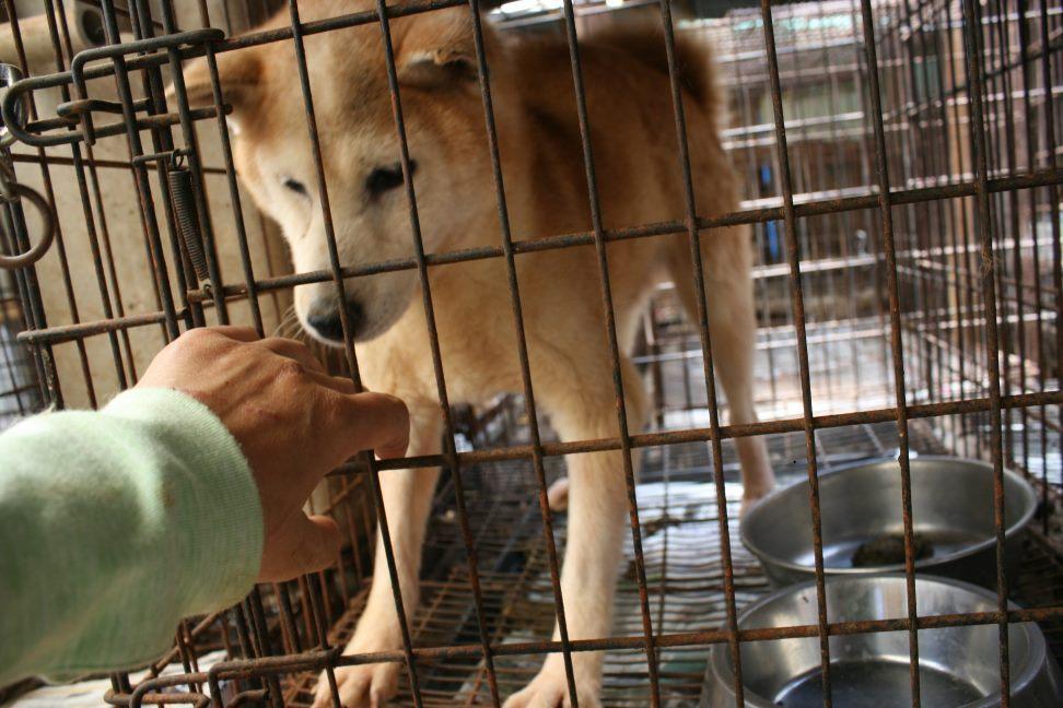 ブリーダー放棄の柴犬とラブたち(7/2-7/3)_f0242002_2305095.jpg