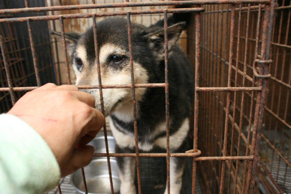 ブリーダー放棄の柴犬とラブたち(7/2-7/3)_f0242002_23232528.jpg