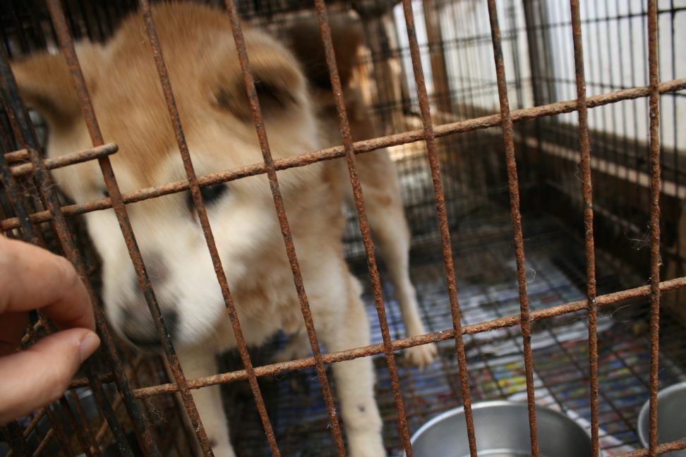 ブリーダー放棄の柴犬とラブたち(7/2-7/3)_f0242002_2364156.jpg