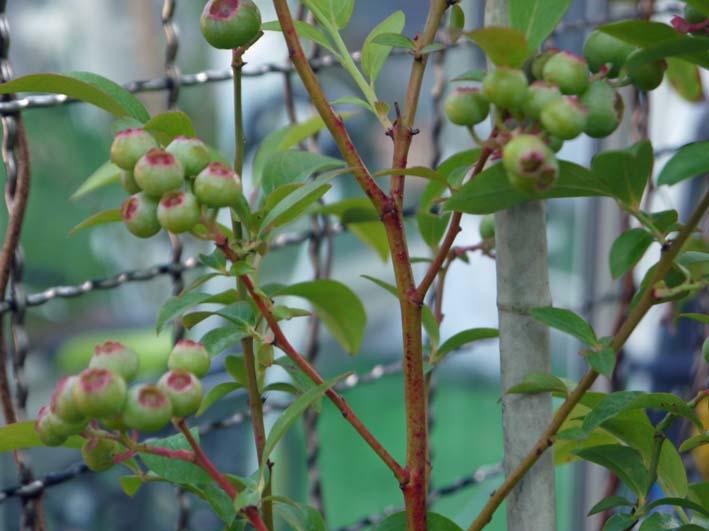 自宅の庭にブルーベリーの苗を植えた(2016・6・3)_c0014967_6141557.jpg