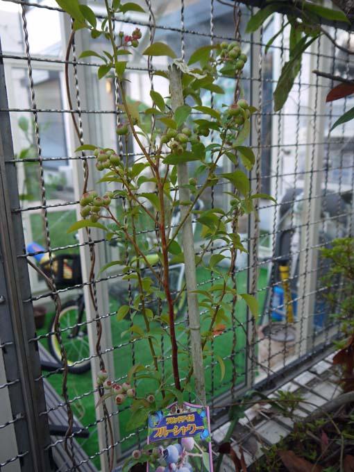 自宅の庭にブルーベリーの苗を植えた(2016・6・3)_c0014967_6144476.jpg