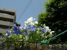 今年の裏庭。お花や野菜で一杯です!_f0055803_15453117.jpg