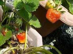 今年の裏庭。お花や野菜で一杯です!_f0055803_15493219.jpg