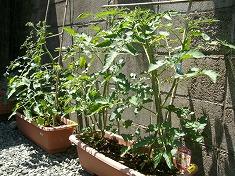 今年の裏庭。お花や野菜で一杯です!_f0055803_15501567.jpg