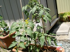 今年の裏庭。お花や野菜で一杯です!_f0055803_15503257.jpg