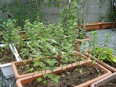 今年の裏庭。お花や野菜で一杯です!_f0055803_15521165.jpg