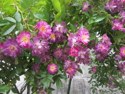 滝のように咲くブルーランブラー_f0157414_21285300.jpg