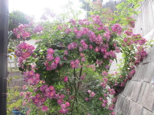 滝のように咲くブルーランブラー_f0157414_21292284.jpg