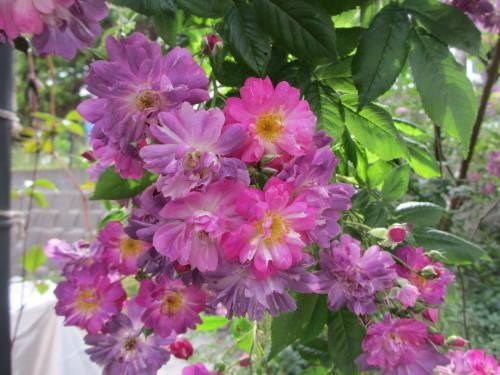 滝のように咲くブルーランブラー_f0157414_21295846.jpg