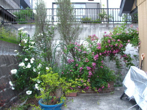 滝のように咲くブルーランブラー_f0157414_21304640.jpg