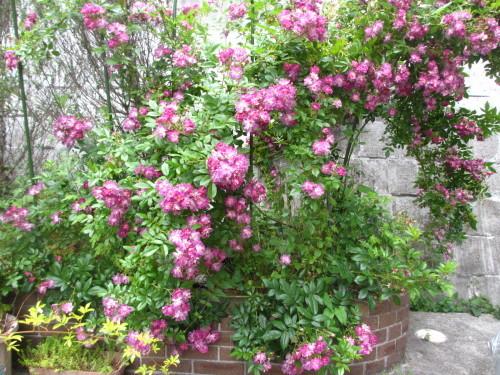 滝のように咲くブルーランブラー_f0157414_21311136.jpg