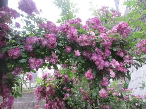 滝のように咲くブルーランブラー_f0157414_21314848.jpg
