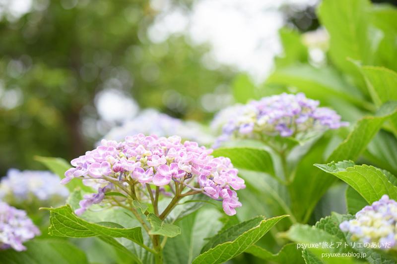 紫陽花の坂道_e0131432_20022894.jpg