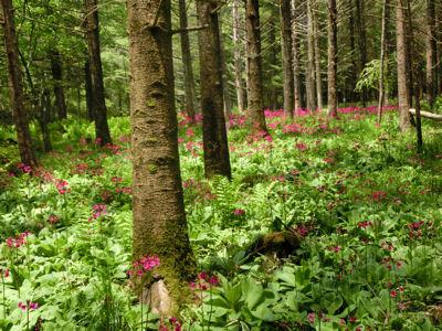 美し森のクリンソウ_f0019247_103798.jpg