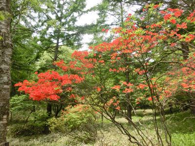 美し森のクリンソウ_f0019247_10393741.jpg