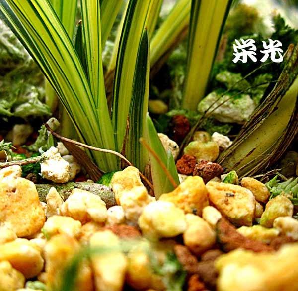 春蘭類の芽                         No.1694_d0103457_11205703.jpg