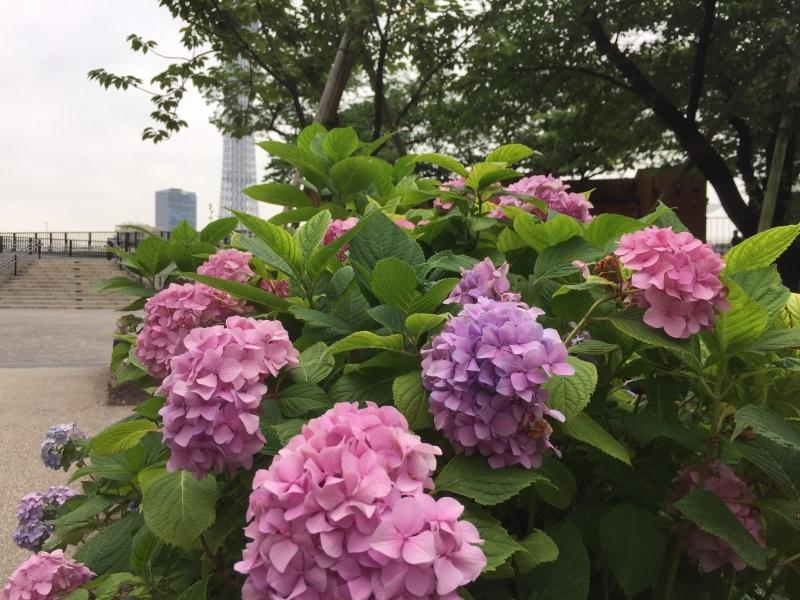 紫陽花(あじさい)_f0356588_18575480.jpeg