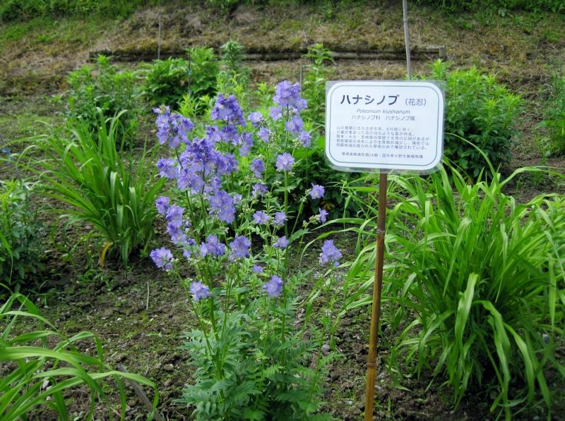 ハナシノブ咲きました!_a0114743_10313356.jpg