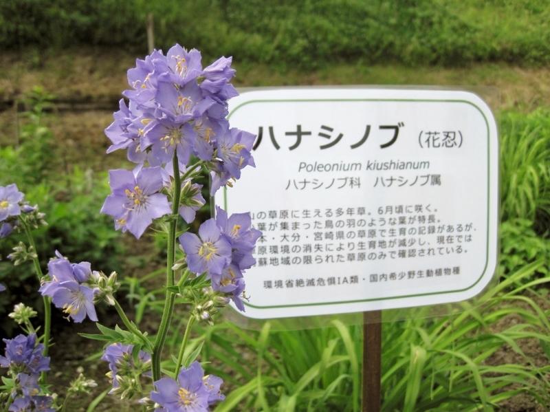 ハナシノブ咲きました!_a0114743_10314971.jpg