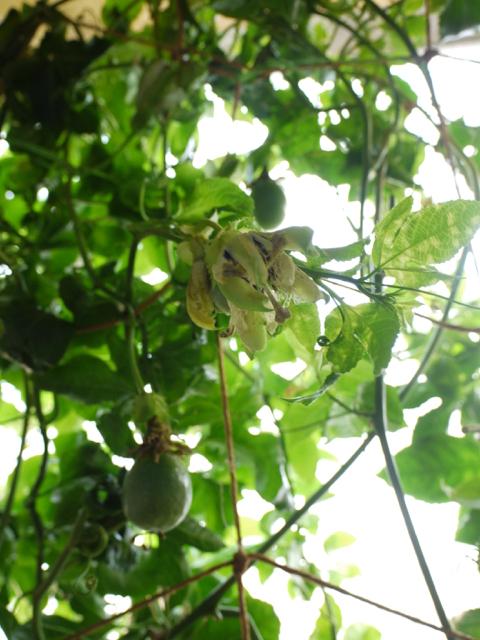 パッションフルーツ、豊作の予感!_e0356356_18484007.jpg