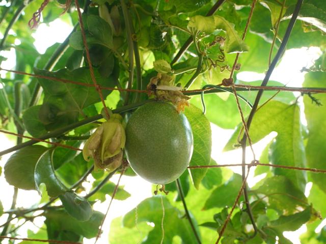 パッションフルーツ、豊作の予感!_e0356356_19021237.jpg