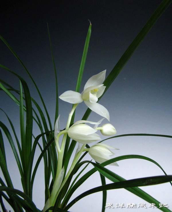 春蘭類の芽                         No.1694_d0103457_01052175.jpg