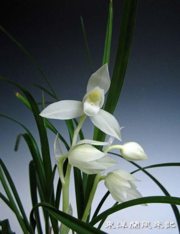 春蘭類の芽                         No.1694_d0103457_01052894.jpg