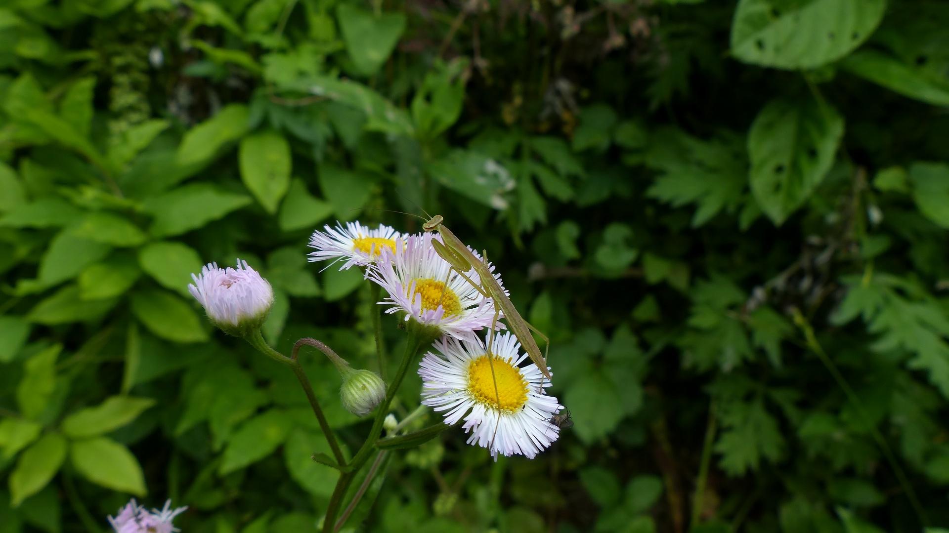 昆虫の森シリーズ 蟷螂(とうろう)_a0185081_1236456.jpg
