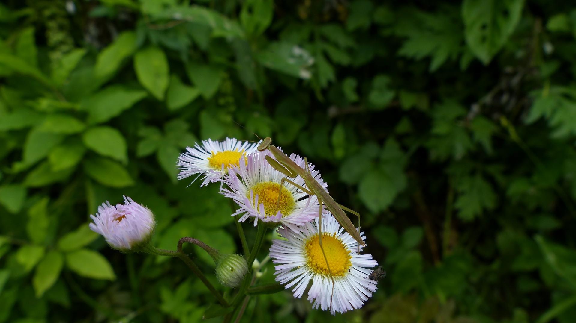 昆虫の森シリーズ 蟷螂(とうろう)_a0185081_1236543.jpg