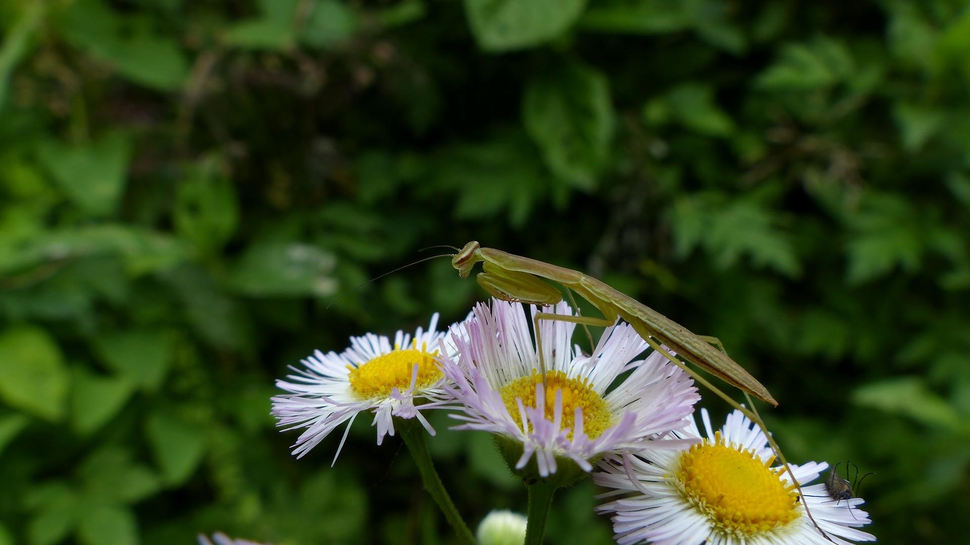 昆虫の森シリーズ 蟷螂(とうろう)_a0185081_12371140.jpg