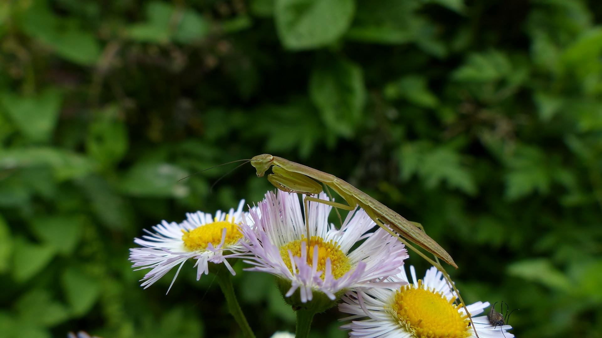昆虫の森シリーズ 蟷螂(とうろう)_a0185081_12372024.jpg
