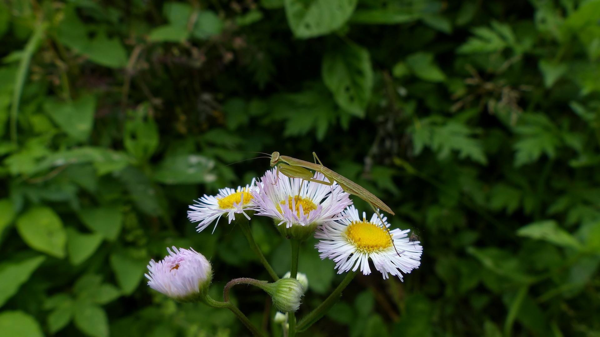 昆虫の森シリーズ 蟷螂(とうろう)_a0185081_1237281.jpg