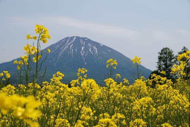 羊蹄山とシバザクラ_d0162994_925010.jpg