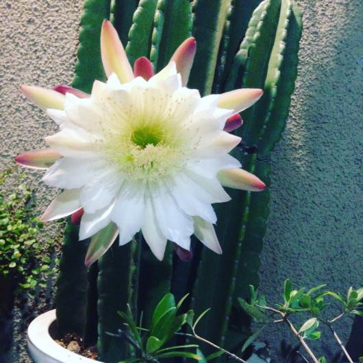幸せになれちゃうサボテンの花。_f0301305_22381366.jpg