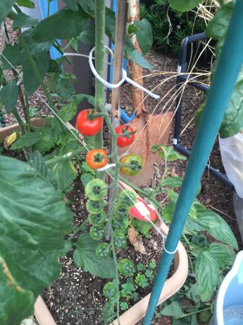 トマトその後2_a0186615_10191919.jpg