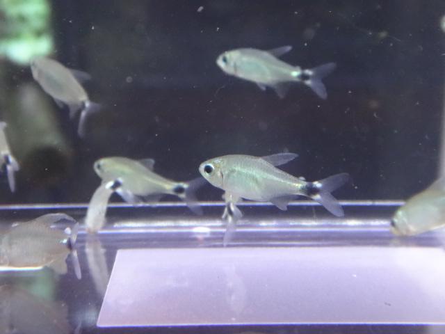 160609 熱帯魚・金魚・淡水魚・水草・観葉植物_f0189122_13115945.jpg