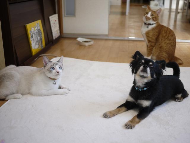 猫のお留守番 こたびくんしっぽなちゃん ∔ 犬のお留守番 栗田まろんくん編。_a0143140_18464862.jpg