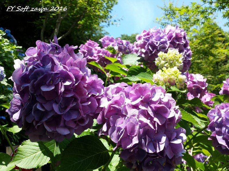 ◆ アジサイ咲く鎌倉へ、その1 「長谷寺」へ (2016年6月)_d0316868_12512276.jpg
