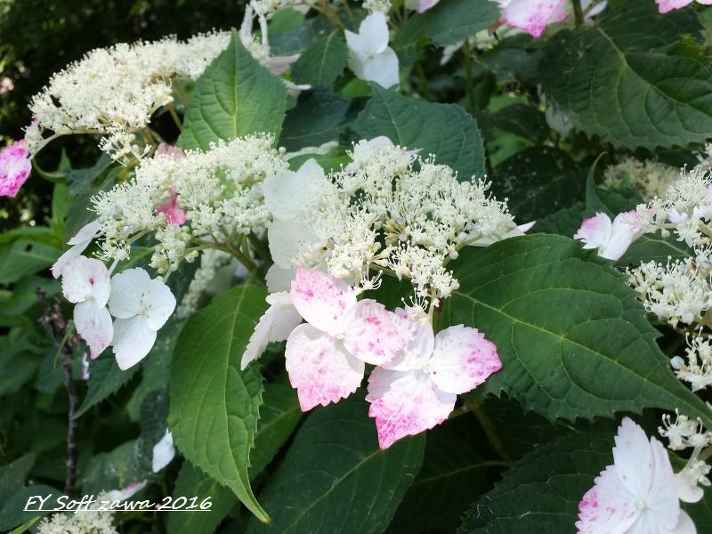 ◆ アジサイ咲く鎌倉へ、その1 「長谷寺」へ (2016年6月)_d0316868_1251333.jpg