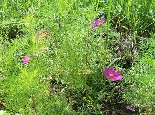 菜園の花...ブルーベリーの実_b0137932_18394217.jpg