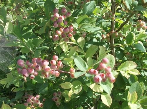 菜園の花...ブルーベリーの実_b0137932_1839565.jpg