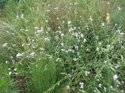菜園の花...ブルーベリーの実_b0137932_18403025.jpg