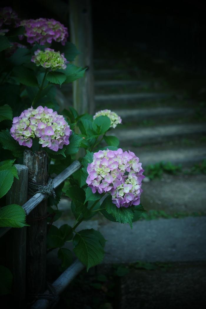紫陽花 2016 山田池公園 _f0021869_2303445.jpg