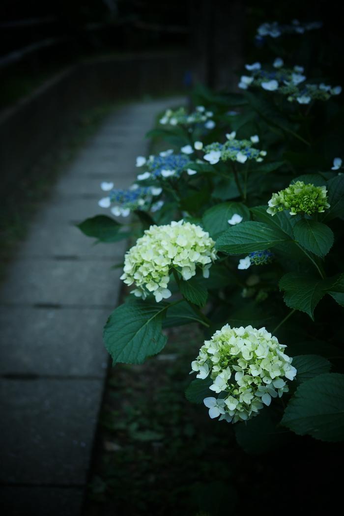 紫陽花 2016 山田池公園 _f0021869_2305514.jpg