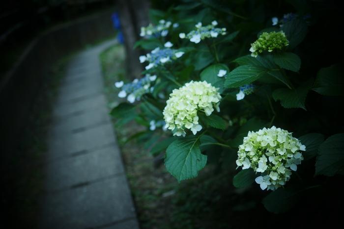 紫陽花 2016 山田池公園 _f0021869_2343576.jpg