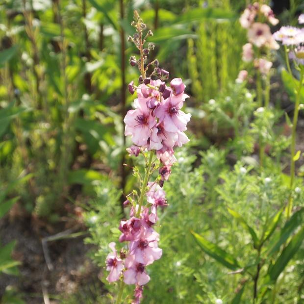 お庭の花 続き_a0292194_17353777.jpg