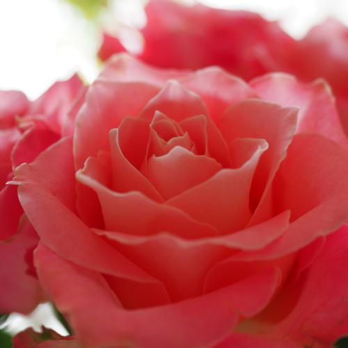 場のエネルギーによる薔薇の変容_e0243332_23173957.png