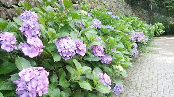紫陽花ロード_f0230689_19240629.jpg