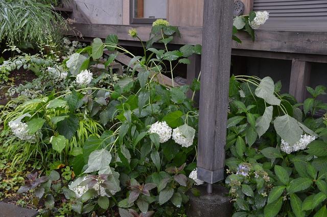 やっと雨止んだ、6月13日の庭。_c0124100_2327412.jpg