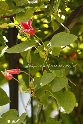 庭の草花とのん気な母_a0264538_11403172.jpg